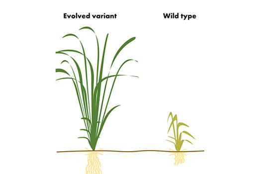 Directed evolution comes to plants