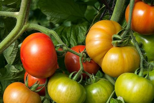 A symbiotic boost for greenhouse tomato plants