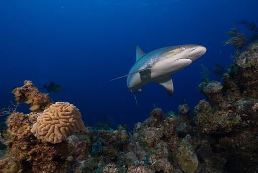 Landmark census reveals global reef shark status