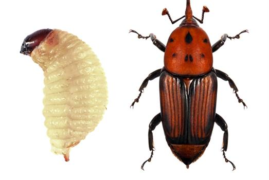 Sensor technology tackles red palm weevils