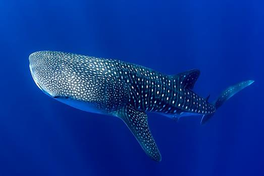Whale shark populations are young and transient